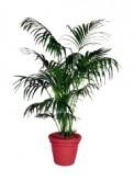 Palm 1800mm 5526