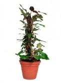 Philodendron Totum 1200mm 5523